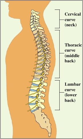 Image showing the three natural curves of the spine